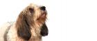 Petit basset griffon vendeen dog breed information noah - Petit basset griffon vendeen breeders toulon ...
