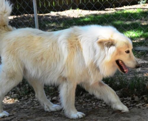 Charlie Brown Great Pyrenees Noah S Dogs