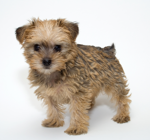 Baby Pet Vet Little Foot Doctor: Schnoodle Dog Breed Information