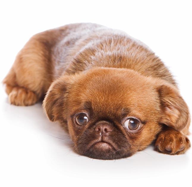 griffon bruxellois dog breed information