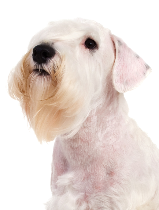 Sealyham Terrier Dog Breed Information Noah S Dogs
