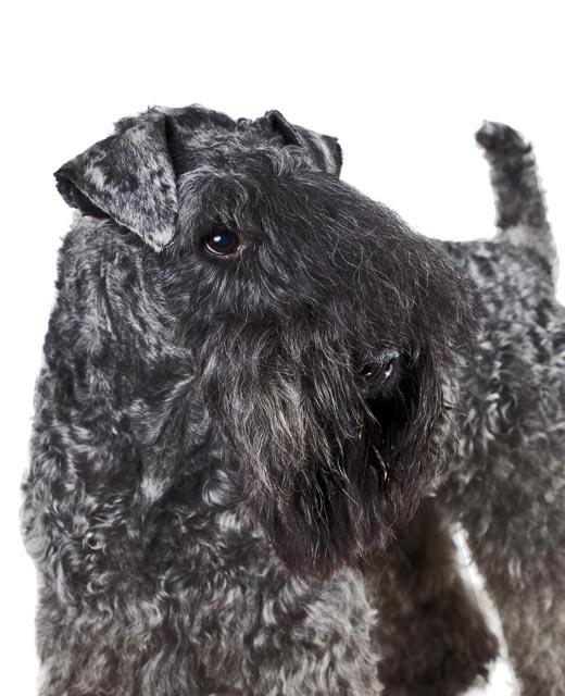 Kerry Blue Terrier Dog Breed Information Noah S Dogs