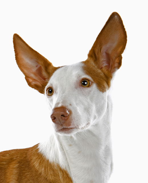 Ibizan Hound dog breed information  Noahs Dogs