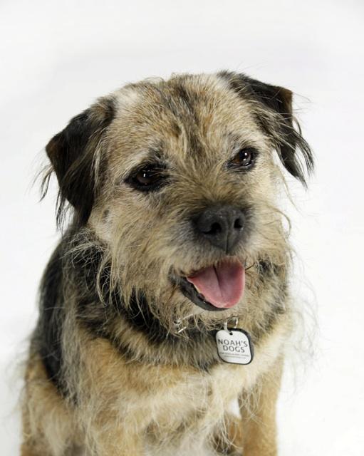 border terrier dog breed information