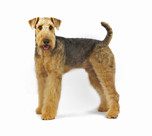 Airedale Terrier dog breed information  Noahs Dogs