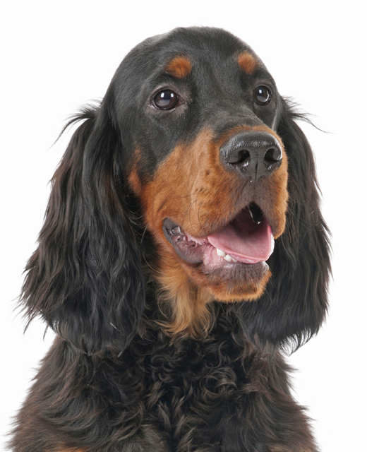 Gordon Setter Dog Breed Information Noah S Dogs