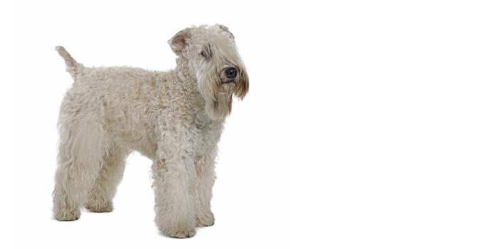 Soft Coated Wheaten Terrier dog breed information | Noah\'s Dogs