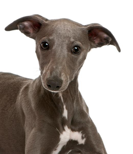 Are Whippets Good Dogs