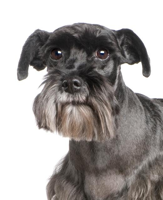 Standard Schnauzer Dog Breed Information Noah S Dogs