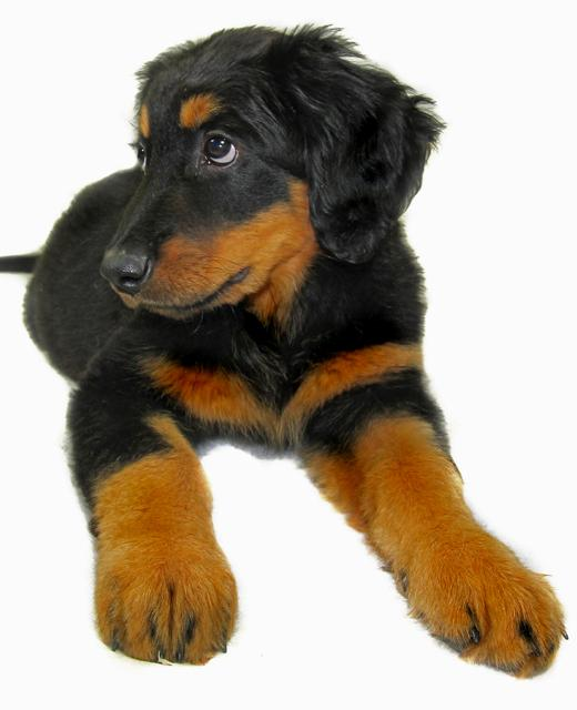German Shepherd Dog Breed Information  Vetstreet
