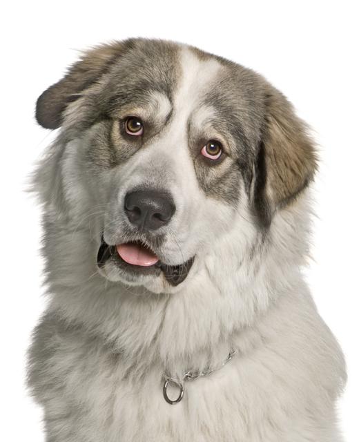 Pyrenean Mountain Dog Free To Good Home