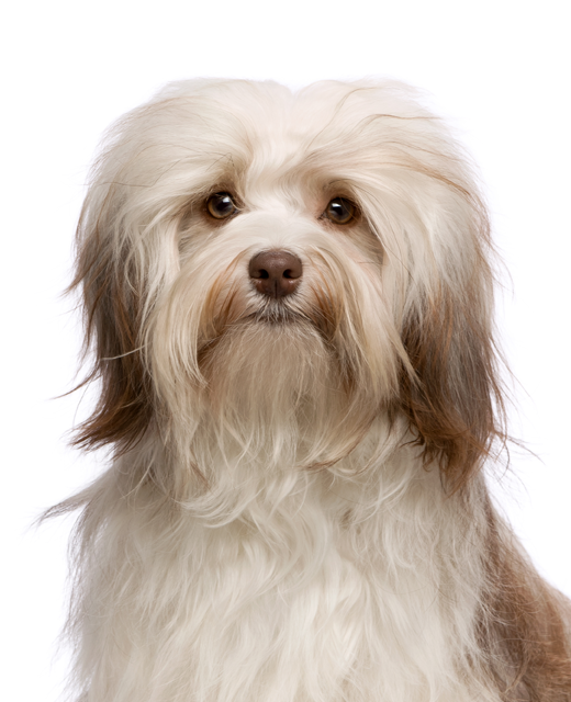 havanese dog breed information noah s dogs