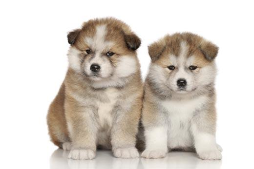 akita black dating site Meet the breed: akita white, pinto, brindle with black mask is this breed right for you because the akita is known to be aggressive.