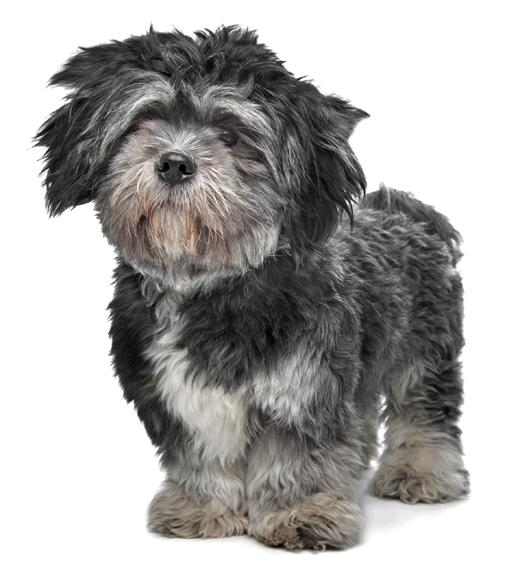 lhasa black dating site The lhasa apso, an ancient breed dating back at least 800 bc, was bred for use as a watchdog in tibetan temples and monasteries nose black, the length from tip.