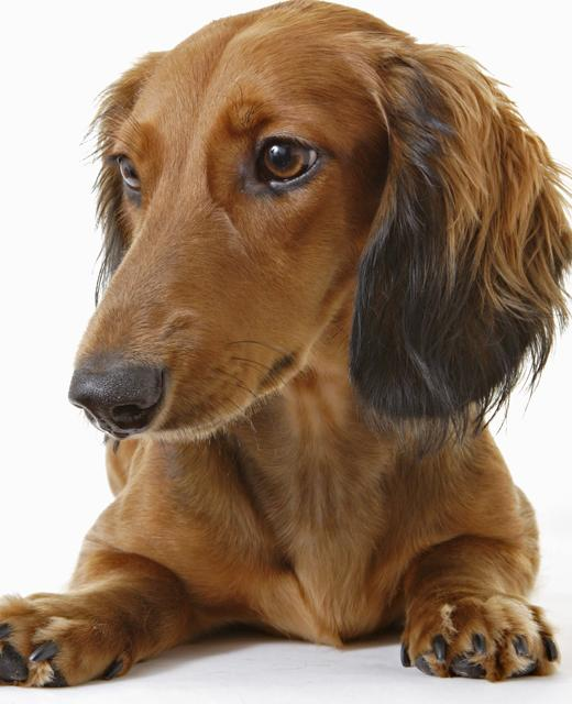 dachshund miniature long haired dog breed information noah s dogs