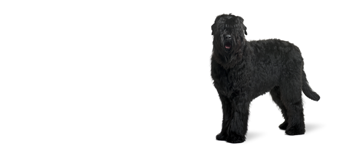 Russian Black Terrier Dog Breed Information Noah S Dogs