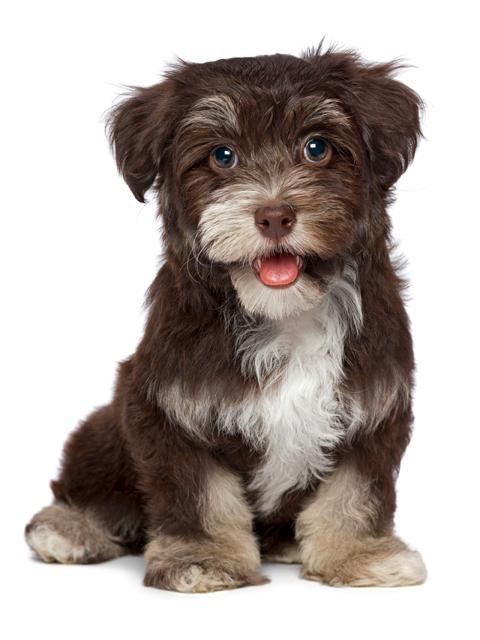 Havanese Dogs Full Grown Www Imgkid Com The Image Kid
