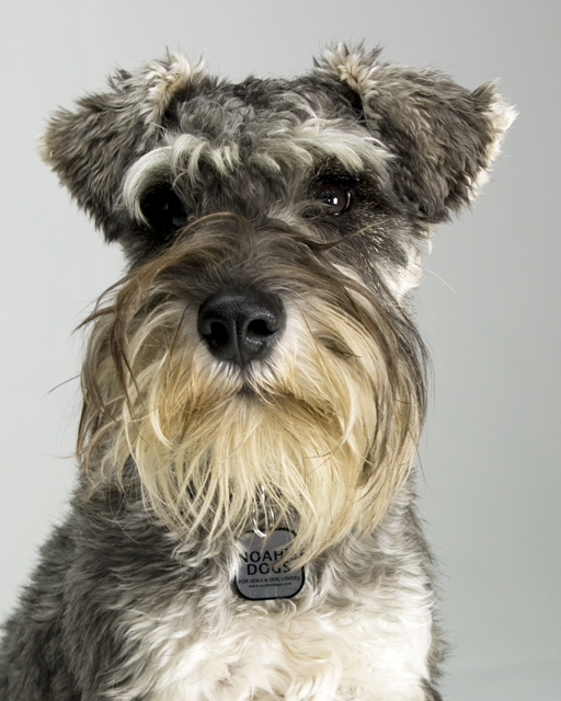 Picture Of Miniature Schnauzer Dog