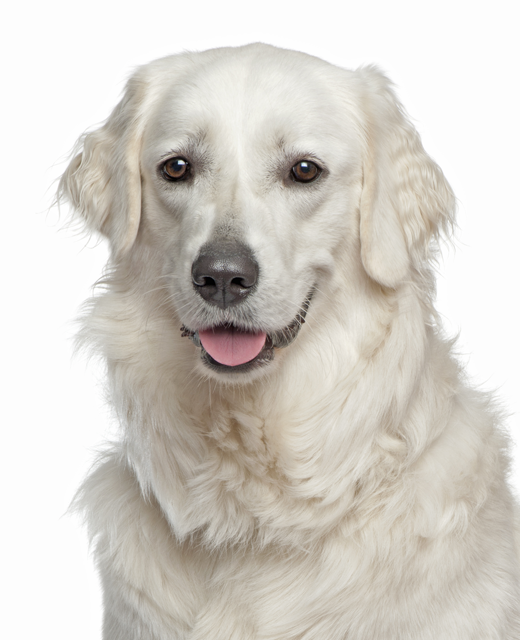 Hungarian Kuvasz Dog Breed Information Noah S Dogs