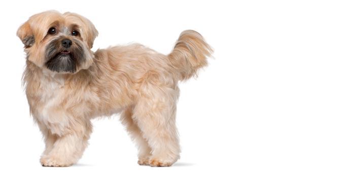 Shih Tzu Dog Breed Information Noahs Dogs