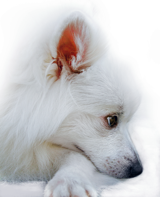 Japanese Spitz Dog Breed Information Noah S Dogs