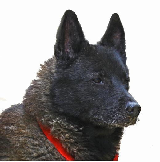 Norwegian Elk hound