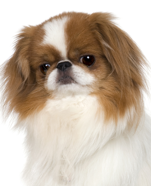 Overview Pictures & Videos Suitability Find a Japanese Chin