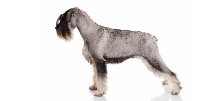 Standard Schnauzer dog breed information  Noahs Dogs
