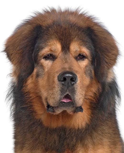 Tibetan Mastiff Dog Breed Information Noah S Dogs