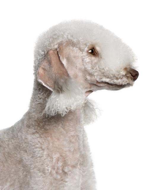 Bedlington Terrier Dog Breed Information Noah S Dogs