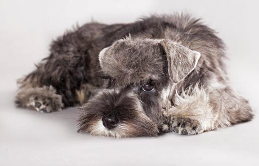 Miniature Schnauzer dog breed information  Noahs Dogs