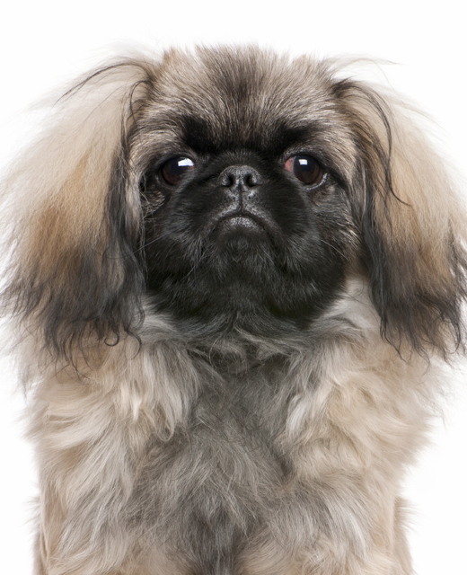 Pekingese Dog Breed Information Noah S Dogs