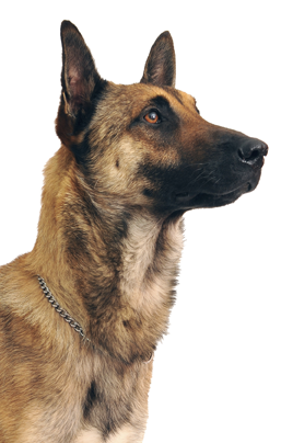 Belgian Shepherd Malinois Dog Breed Information Noah S Dogs