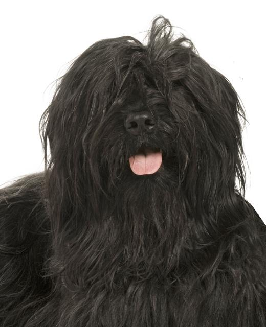 Briard dog breed information | Noah's Dogs