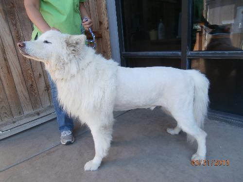Raleigh Samoyed Noah S Dogs