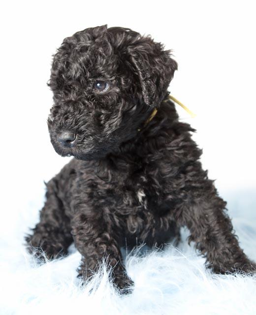 Kerry Blue Terrier dog breed information | Noah's Dogs