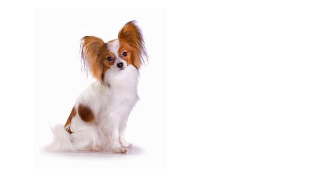 papillon dog breed  rmation noah s dogs