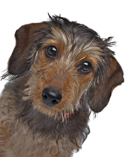 Dachshund miniature wire-haired