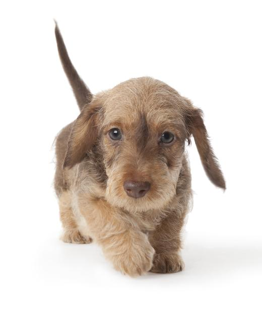 Dachshund miniature wire-haired dog breed information | Noah\'s Dogs